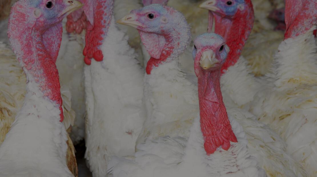 Jennie-O Turkey Store Turkeys