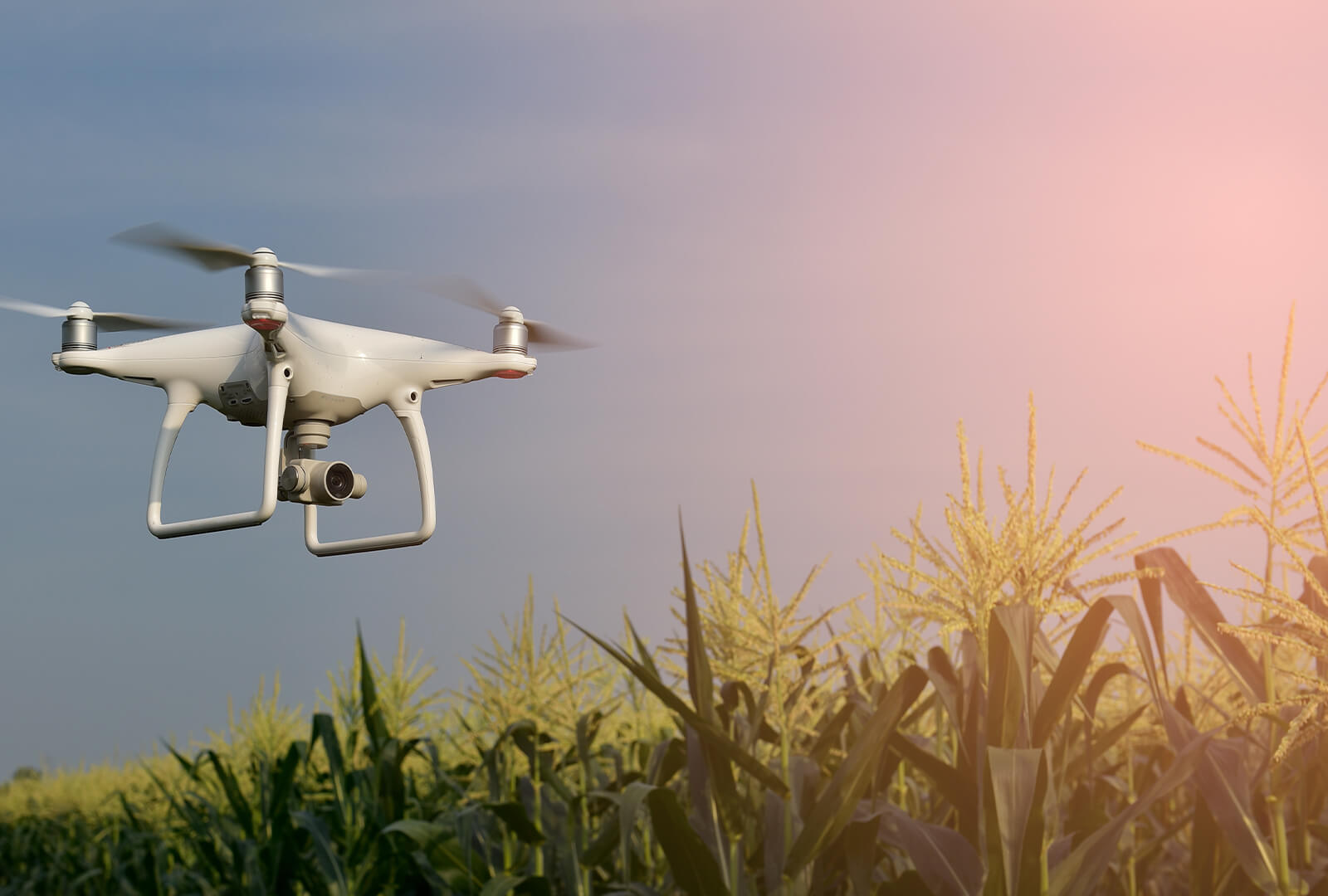 A camera drone flying over a field of corn